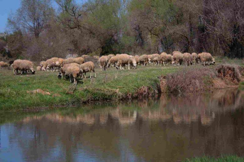 Απαγόρευση  βοσκής σε αναδασωτέα έκταση στον Ριζόμυλο