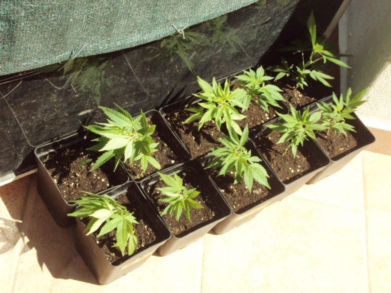 Τρίκαλα: 23χρονος καλλιεργούσε δενδρύλια κάνναβης στο σπίτι του
