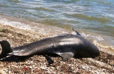 Νεκρό δελφίνι στον Παγασητικό