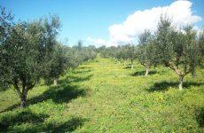 Ακαρπία ελαιοδέντρων στον Δήμο Αλμυρού