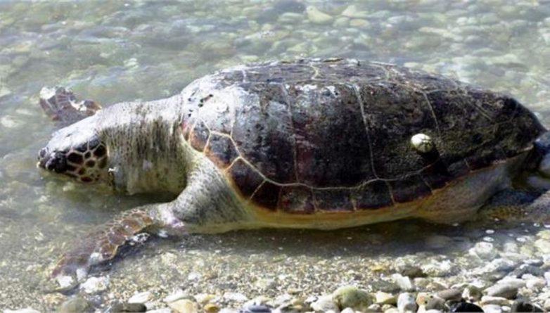 Νεκρή  χελώνα καρέτα-καρέτα στη  Ν.Αγχίαλο