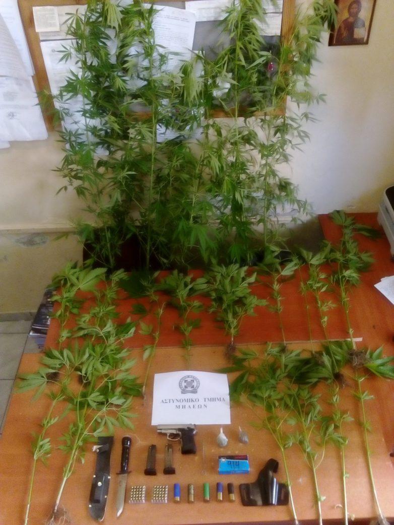 Καλλιέργεια δενδρυλλίων κάνναβης στην Τσαγκαράδα