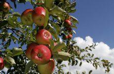 Ανιχνεύθηκαν τοξικά φυτοφάρμακα σε καλλιέργειες μήλου στην Ελλάδα
