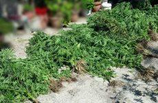 Συνελήφθη 37χρονη  στην Ελασσόνα για καλλιέργεια κάνναβης