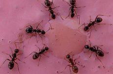 Ερευνητές αναλύουν το «τρελό μυρμήγκι»