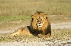 Φρικτό τέλος για το λιοντάρι-σύμβολο της Ζιμπάμπουε