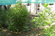 Οι Οικολόγοι Πράσινοι για την θεσμοθέτηση καλλιέργειας και χρήσης ιατρικής κάνναβης