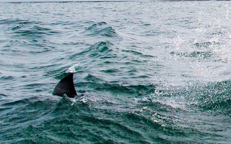 Καρχαρίας πιάστηκε στα δίχτυα ψαρά στις Νηές Σούρπης