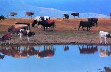 Υποχρεωτικός εμβολιασμός βοοειδών στη Μαγνησία