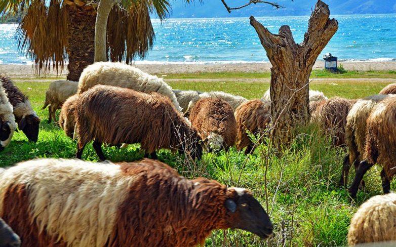 Ο ΕΛΓΑ αποζημιώνει 263 κτηνοτρόφους σε 29 νομούς της χώρας