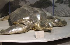 Θαλάσσια χελώνα νεκρή  στη Μ. Βελανιδιά