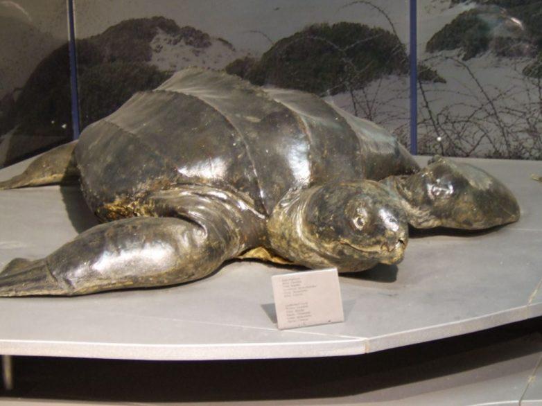 Νεκρή χελώνα καρέττα-καρέττα στο Πήλιο
