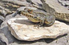 Σπάνιος βάτραχος στην Κάρπαθο υπό την προστασία ενός πρίγκιπα