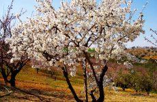 Nεοεμφανιζόμενη ασθένεια απειλεί την καλλιέργεια της αμυγδαλιάς