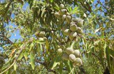 Ικανοποίηση Δήμου Ρήγα Φεραίου για την αποζημίωση των αμυγδαλοπαραγωγών