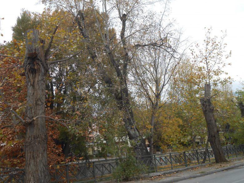 Με υπόδειξη γεωπόνου το κλάδεμα δένδρων στο Βόλο