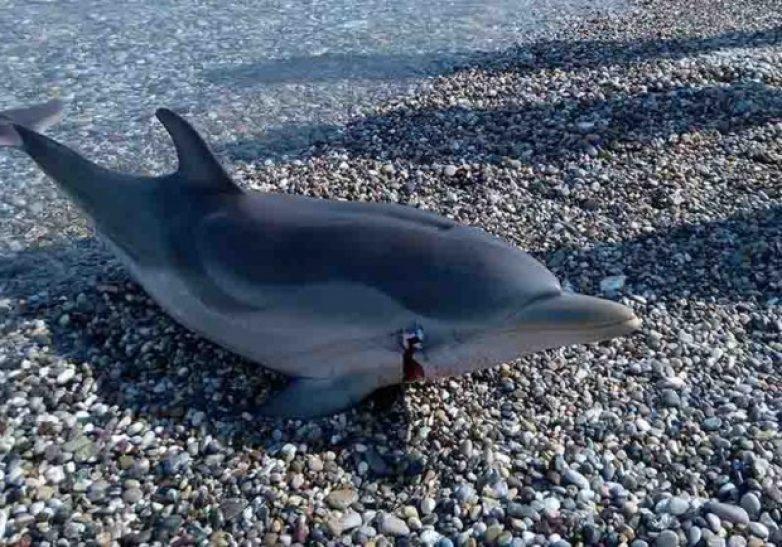 Νεκρό δελφίνι στον Πτελεό