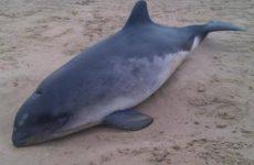 Νεκρά δελφίνι και  φώκια σε Αγχίαλο και Μηλίνα