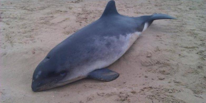 Νεκρό δελφίνι στo Αχίλλειο Αλμυρού