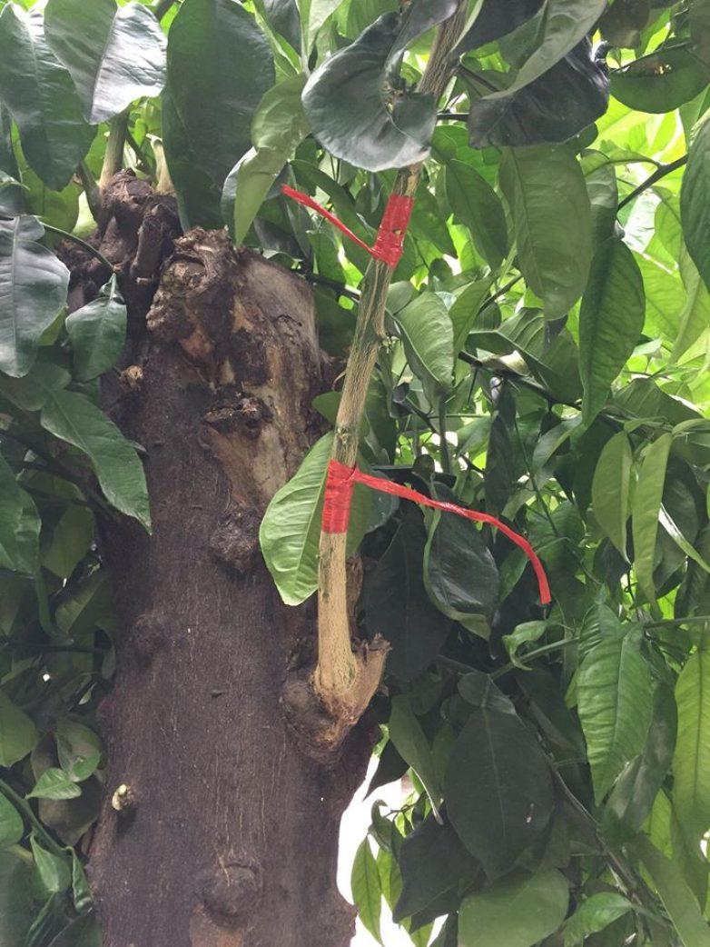 Πιλοτικό μπόλιασμα νερατζιών με λεμονιές στον Βόλο