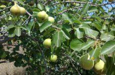 Μειωμένη παραγωγή οπωροφόρων δέντρων στον  Δήμο Ρήγα Φεραίου