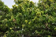 Ενημέρωση για τον εντομολογικό εχθρό της καστανιάς Dryocosmus kuriphilus