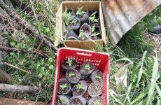 Σύλληψη δύο Λαρισαίων για καλλιέργεια κάνναβης