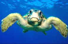 Επισκέπτης -τρόφιμος χελώνα στο  λιμάνι του Βόλου