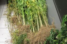 Oργανωμένες καλλιεργούμενες φυτείες κάνναβης στη Λάρισα