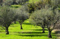 Διενέργεια δολωματικών ψεκασμών για την καταπολέμηση του δάκου της ελιάς στη Συκή