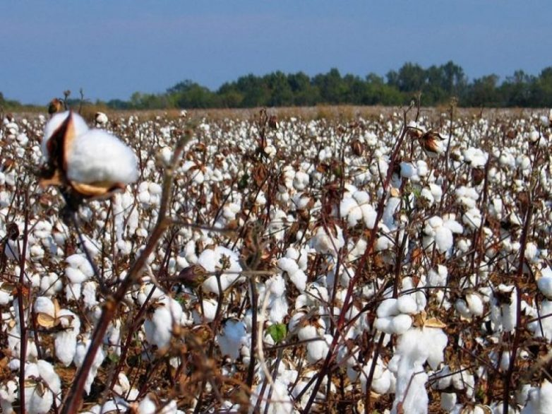 Oλοκληρωμένη  φυτοπροστασία  στη βαμβακοκαλλιέργεια