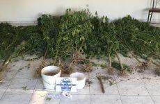 Φυτεία δενδρυλλίων κάνναβης στον Παλαμά Καρδίτσας