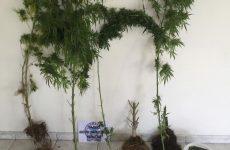 Συνελήφθη στην ευρύτερη περιοχή της Καρδίτσας, για καλλιέργεια δενδρυλλίων και κατοχή κάνναβης