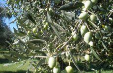 Ψεκασμοί για τον δάκο της ελιάς σε περιοχές της Π.Ε. Λάρισας