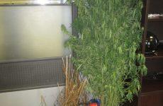 Φυτεία δενδρυλλίων κάνναβης στα Μεσάγγαλα Λάρισας
