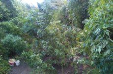 Νέα φυτεία δενδρυλλίων κάνναβης στα Μεσάγγαλα Λάρισας