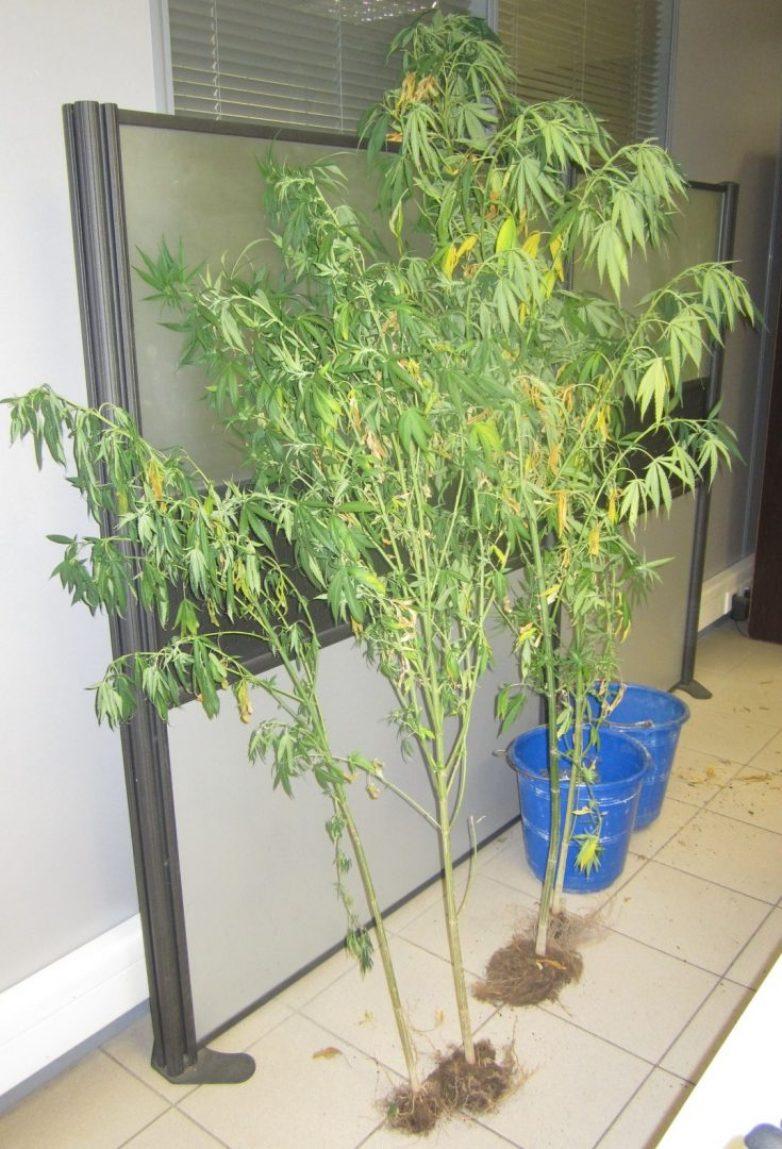 Συνελήφθησαν με δενδρύλλια και ναρκωτικά χάπια στη Λάρισα