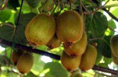 Οδηγίες Ολοκληρωμένης Φυτοπροστασίας στην καλλιέργεια των ακτινιδίων