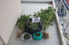 Καλλιεργούσε κάνναβη στα Τρίκαλα