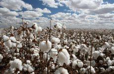 Ολοκληρωμένη  φυτοπροστασία  στη βαμβακοκαλλιέργεια