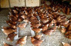Η γρίπη των πτηνών δεν είναι τυχαία