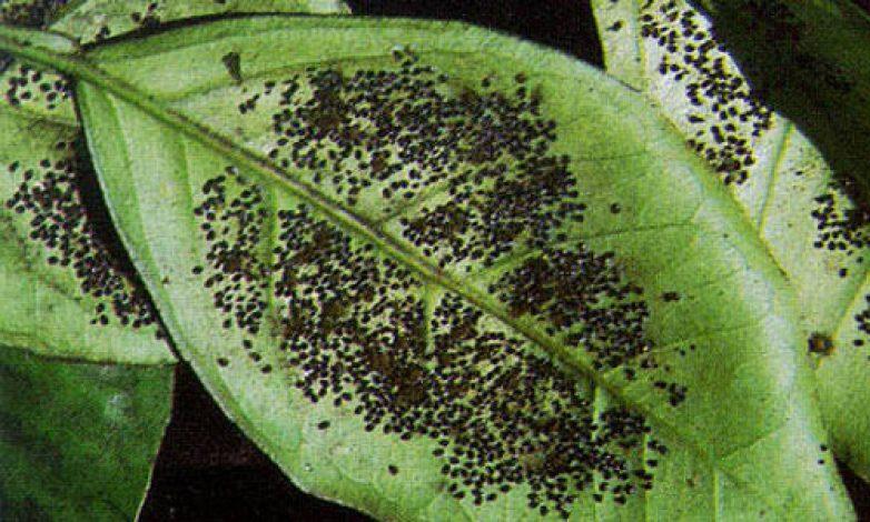 Επιβεβαιωμένη παρουσία του επιβλαβούς οργανισμού Aleurocanthus spiniferus (Quaintance)
