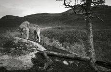 Λύκοι στην Πάρνηθα