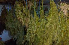 Καλλιεργούσε χασισόδεντρα στην Ελασσόνα