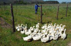 Κρούσματα της γρίπης των πτηνών H5N8 σε φάρμα με πάπιες στη Γαλλία