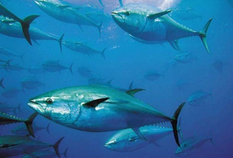 Την Δευτέρα 5 Δεκεμβρίου ξεκινά η αλιεία τόννου