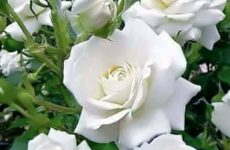 Εμφάνιση του επιβλαβούς οργανισμού καραντίνας Ralstonia solanacearum σε φυτά τριανταφυλλιάς