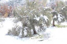 Αναφορά Π. Ηλιόπουλου για τις ζημιές στα ελαιόδεντρα