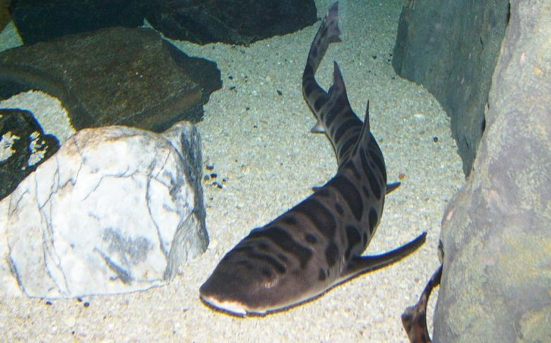 Kαρχαρίας αναπαρήχθη χωρίς ταίρι