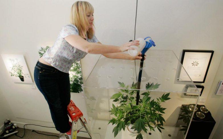 Ολλανδία: Κι επισήμως νόμιμη η καλλιέργεια μαριχουάνας